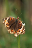 Junonia orithya wallacei (Blue Pansy) female Royalty Free Stock Photo