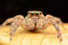 Junping pająk Fotografia Stock