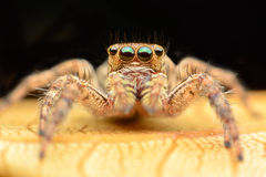 Junping spider Stock Photography