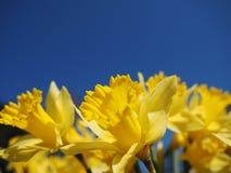 Junquilhos amarelos em uma manhã da mola na luz do sol Fotografia de Stock Royalty Free