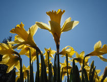 Junquilhos amarelos em uma manhã da mola na luz do sol Foto de Stock Royalty Free