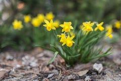 Junquillo de la primavera fotografía de archivo libre de regalías
