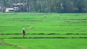 Junte al granjero que trabaja en campo verde del arroz almacen de metraje de vídeo