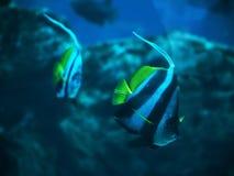 Junte el acuminatus de Heniochus de los pescados en el swimmi azul profundo del océano Imágenes de archivo libres de regalías