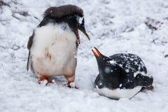 Junte los pingüinos que hablan en fondo los llanos nevosos de la Antártida Foto de archivo libre de regalías