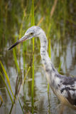 Junvenile伟大蓝色的苍鹭的巢 免版税库存照片