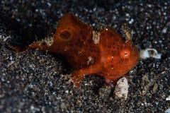 Junvenile在Lembeh海峡绘了鳖鱼科之鱼 库存照片