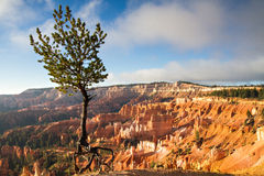 Jupiter Pine Tree at Bryce Canyon Royalty Free Stock Images