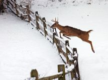 Jupping Deer. White tail deer jumping fence during the winter Royalty Free Stock Images