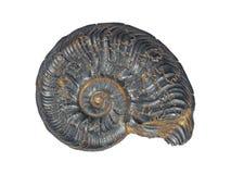 Jurassic fossil- Ammonit Arkivfoto