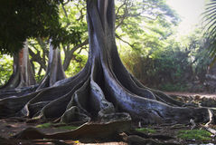 Jurassic Park Trees. Dramatic Moreton-Bay Fig Tree Royalty Free Stock Image