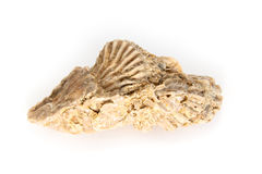 Jurassic shell cluster Stock Photo