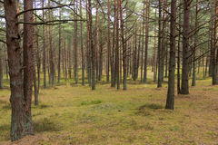 杉木森林在Jurmala 免版税库存图片