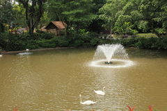 Jurong Bird Park in Singapore. Swan swimming on pool at the Singapore Jurong Bird Park Stock Images