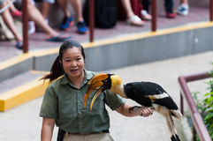 Jurong Bird Show. SINGAPORE - DECEMBER 24: A female trainer shows a rhinoceros hornbill (buceros rhinoceros) to an audience at the Jurong Bird Park on December Royalty Free Stock Photo