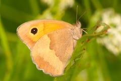 Jurtina van vlindermaniola, wijfje Stock Foto