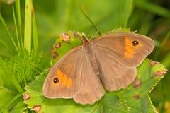 Jurtina van vlindermaniola, wijfje Royalty-vrije Stock Foto