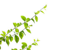 Jusmin leaves and branches on white background Royalty Free Stock Photography