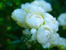Jusmine blanco Imagen de archivo