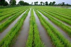Jusmine rice Stock Photos