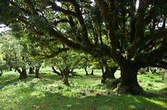 Jusqu'aux arbres de 500 cent années, la Madère Images stock