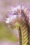 jussphacelia Royaltyfria Bilder