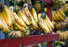A store selling only bananas. Just Bananas. Each bunch is suspended on purple wooden bar. Some are still green, ripened yellow, and turning brown royalty free stock photos