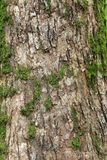 Just bark on a tree. Royalty Free Stock Photo