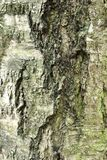 Just bark on a tree. Royalty Free Stock Images