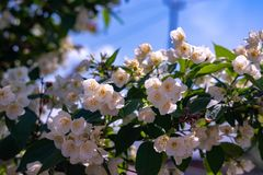 Just beautiful flowers - flowers of early summer . royalty free stock images