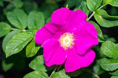 Just beautiful flowers - flowers of early summer -  the wild rose bushes. royalty free stock images