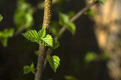 Just blossomed spring leaves. Freshly blossoming little fresh green bright spring leaves on a shadowy blurred background stock photography