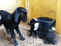 Just born baby goats Stock Photography