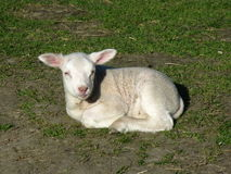 A just born baby sheep Stock Image