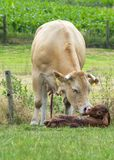 Just Born Cow Stock Photo
