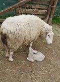 A just born lamb in spring Stock Image