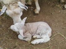 A just born lamb during springtime Stock Photo