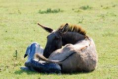 Just born little donkey Royalty Free Stock Photography
