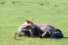 Just born little donkey lying Royalty Free Stock Image