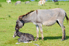 Just born little donkey on pasture Royalty Free Stock Image