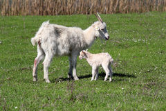 Just born little goat. On pasture Royalty Free Stock Photos