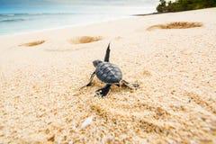 Little turtle goes towards the sea stock photos