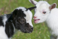Just born white goatling nannie Stock Photo