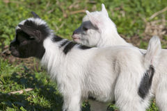 Just born white goatling nannie Stock Image