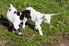 Just born white goatling nannie Royalty Free Stock Photo