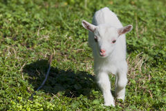Just born white goatling nannie Royalty Free Stock Image