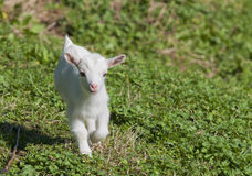 Just born white goatling nannie Royalty Free Stock Photography
