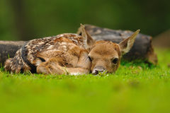 Just born young fallow deer Royalty Free Stock Photography