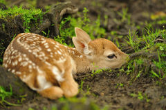 Just born young fallow deer Royalty Free Stock Images