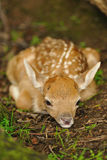 Just born young fallow deer Royalty Free Stock Photo